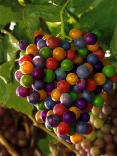 raisin multicolore