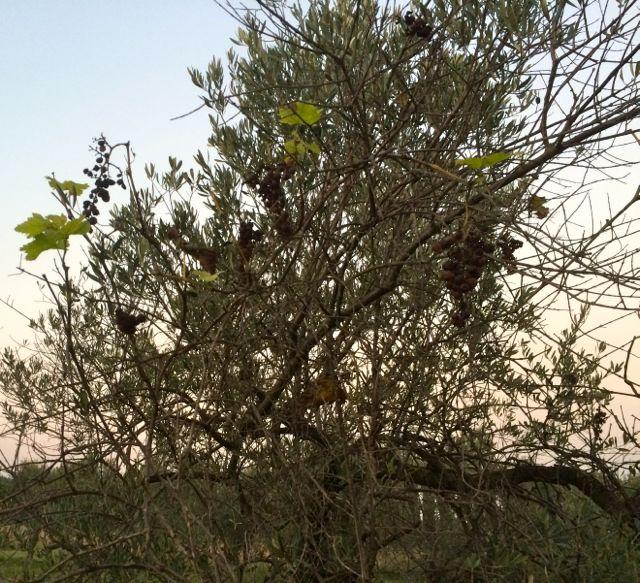 vigneolivier